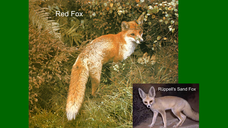 Foxes from the Middle East and Europe